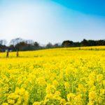 一面鮮やかな黄色の世界!菜の花が作り出す絶景を見に行こう/あわじ花さじき(兵庫県淡路市)